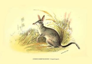 COMMON RABBIT-BANDICOOT - Peragale Lagotis